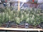 Az scrog-al a növények magassága is alacsonyan tartható