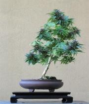 Kender bonsai