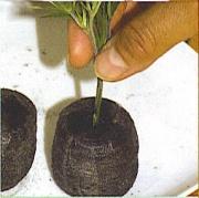 Ültetés tőzegkorongba