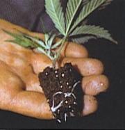 Még gyökerezhet egy kicsit, de bármekkora gyökér képződménnyel rendelkező növény átültethető