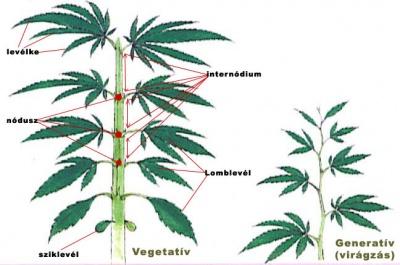 Vegetatív szakaszban az elágazások szimmetrikusak (átellenes levélállás), ahogy nő a növény úgy nő a levélkék száma is. Ahogy a virágzás elkezdődik, az elágazások aszimmetrikussá válnak (váltakozó levélállás), a növény belépett a virágzó, generatív szakaszba. Azt az elágazást (nódusz-t) ami először aszimmetrikussá válik GV pontnak nevezik. A GV pontig számolható elágazások száma fajtától függően változik.