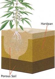 Agyagos, vízzáró földrétegbe egy harang alakú gödröt ásva a víz a növény köré gyűlik, ami aztán tovább folyhat az alsó porózusabb rétegekbe ha sikerült leásni odáig