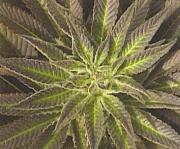 Alacsony hőmérsékletek hatására a levelek elvörösödhetnek.