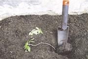 A megnyúlt palántákat mélyebbre ültetve, a föld alá került szárrész gyökeret ereszthet.