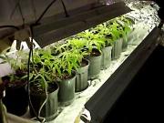 A palánták/klónok fénycsövek alatt is növekedhetnek