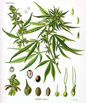 Cannabis_sativa_Koehler_drawing