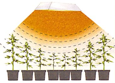 Azok a növények amik nem közvetlenül a lámpa alatt vannak kevesebb fényt kapnak, megnyúlhatnak.