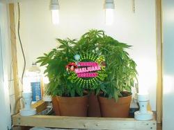 Néhány fénycső/kompakt fénycső alatt nevelt anya több ültetvényre elegendő klónt adhat, amiket ugyan ebben a helységben ki is lehet gyökereztethetni, később pedig ki lehet ültetni
