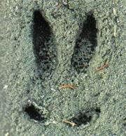 Az őz mellső lábnyoma a homokban, ugrás közben. A paták szétterülnek, és tisztán kivehetőek a fattyúkörmök is