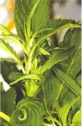 Virágzásból vegetatív szakaszra visszaállt (