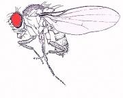 180px-Fruitfly