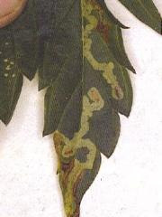 Több féle moly is aknázhatja a leveleket