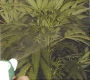 A permetet a levelek fonákjára érdemes koncentrálni