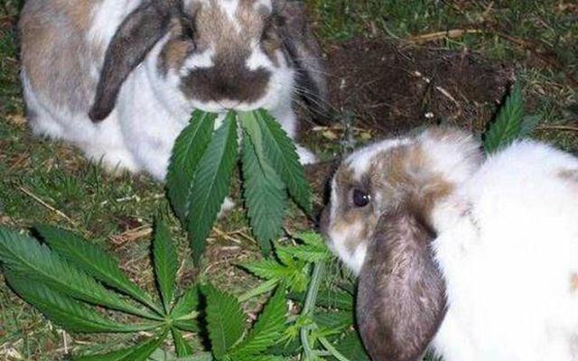 DEA-StonedRabbits-MarijuanaLegalization