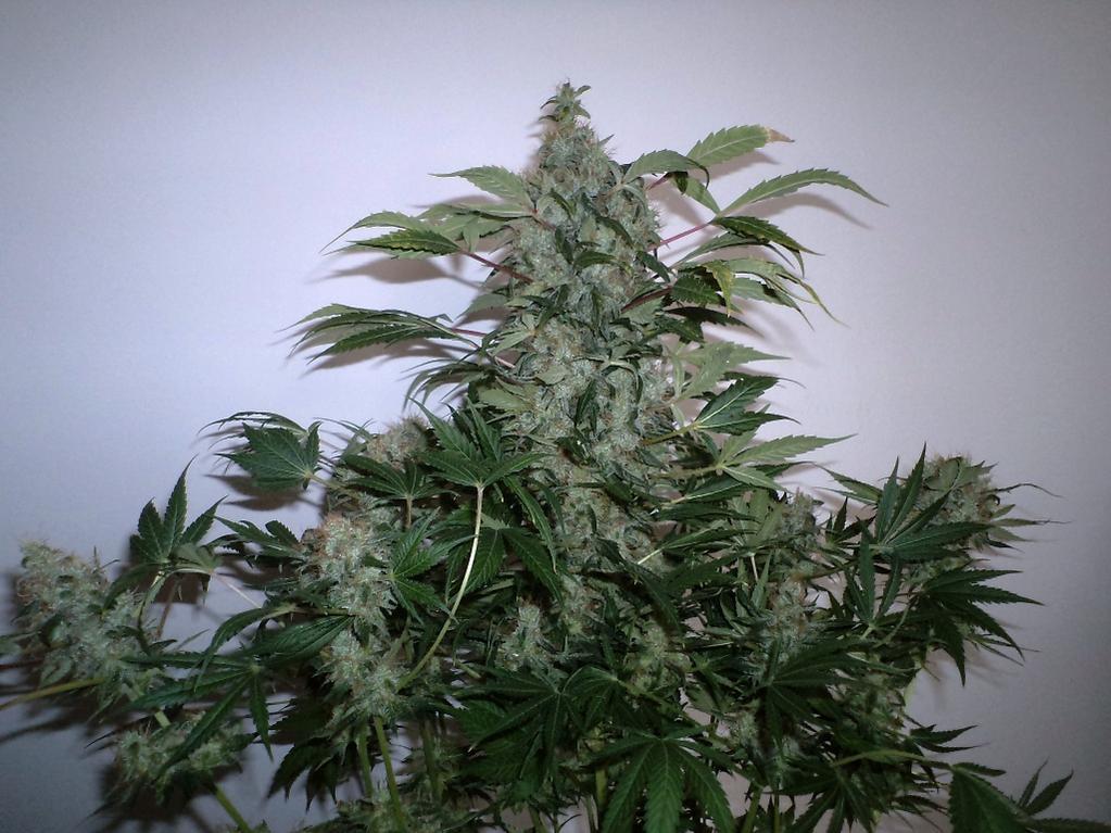 Greenmangojuice NLxDC