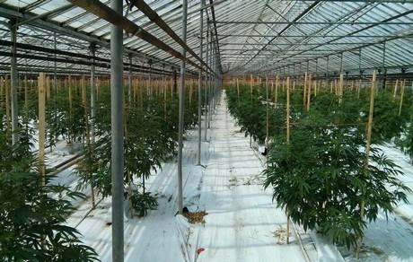 2,7 hektár üvegház legál növényekkel a tengerentúlon.