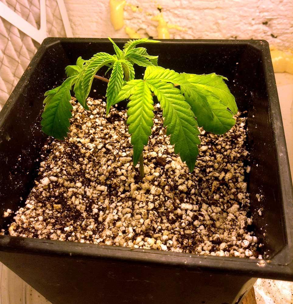 Túllocsolt növény. Kiskorukban talán nem kell elmenni a 30% túlfolyásig, különösen nagy cserépben.