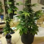 A cserép mérete meghatározhatja a növény méretét is.