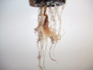 Pythium 1rootrotgyoker